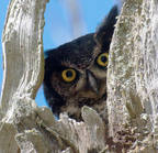 _dsc0142[291][1280] great horned owl)